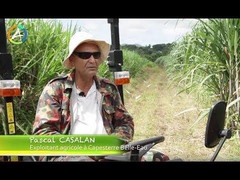 Canne à sucre et désherbage mécanique en Guadeloupe