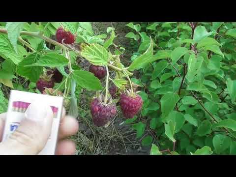Малина Джоан Джей (Joan J) - первые плоды 3-летнего куста