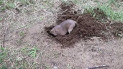 Gopher Digging a Hole