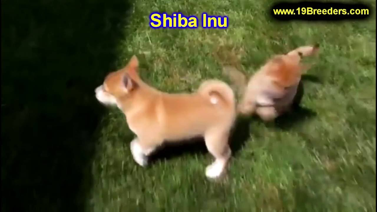 Shiba Inu, Puppies, Dogs, For Sale, In Chicago, Illinois ...