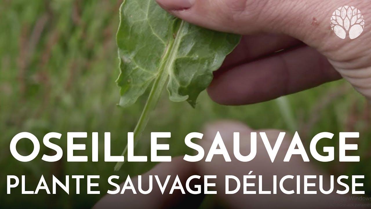 L'oseille sauvage, plante sauvage délicieuse