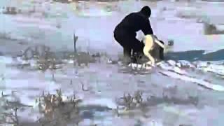 Охота с тазы на зайца