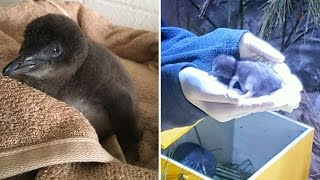 Why This Blue Newborn Penguin Won