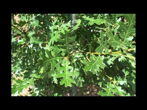 Tree Spot 6 - Gambel Oak