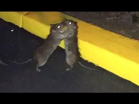 Huge Fighting Rats thumbnail