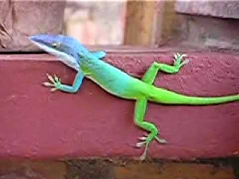 Allisons Anole formerly mislabeled as blue phased green anole and as chameleon  YouTube
