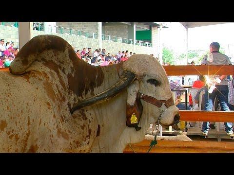 68 Feria Nacional Cebú, Valledupar 2015 - TvAgro por Juan Gonzalo Angel