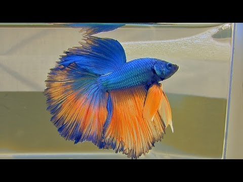 The Bettas4all Standard incl. gallery of over 40 Siamese Fighting Fish