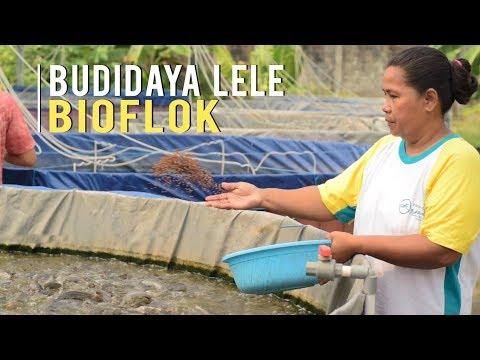 Kunci Sukses Budidaya Ikan Lele Bioflok Bisa Panen 280 kg per Kolam