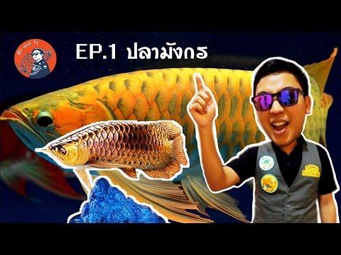 SWT EP.1 ปลามังกร(Arowana)