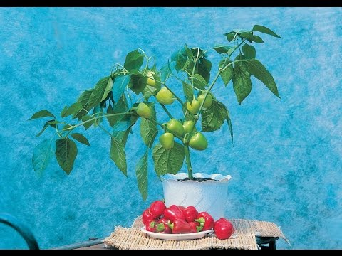 Черный перец: выращивание дома