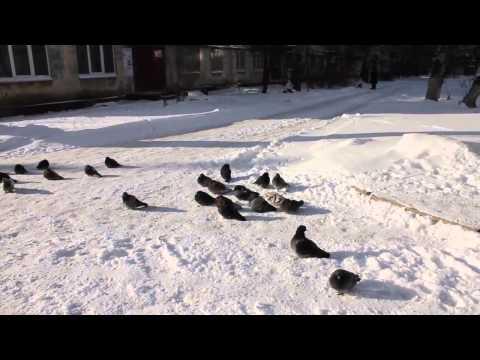 Суровые донецкие голуби