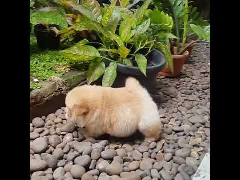 Chow Chow Puppy Is Beyond Cute Youtube