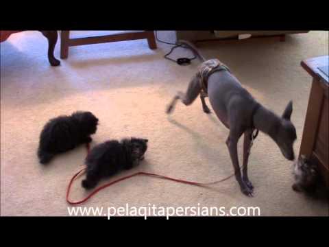 Kittens pestering Italian Greyhound dog