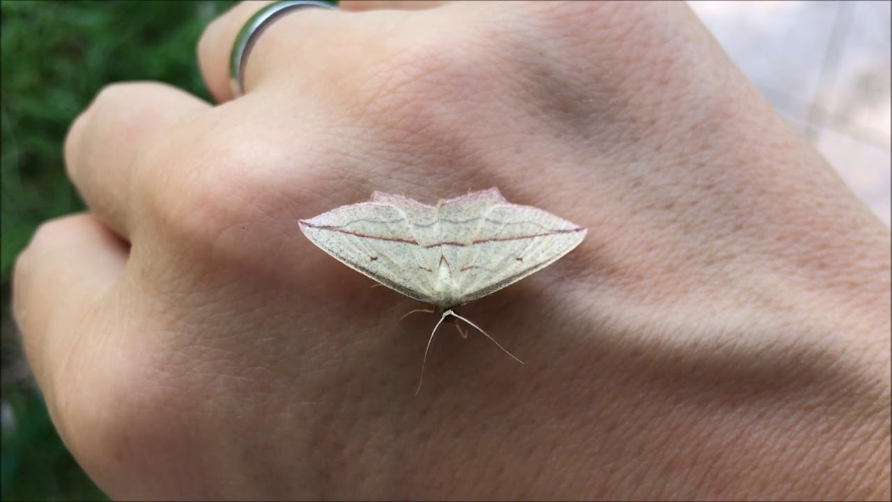parazita tabletták pillangók számára condylom fertőzés