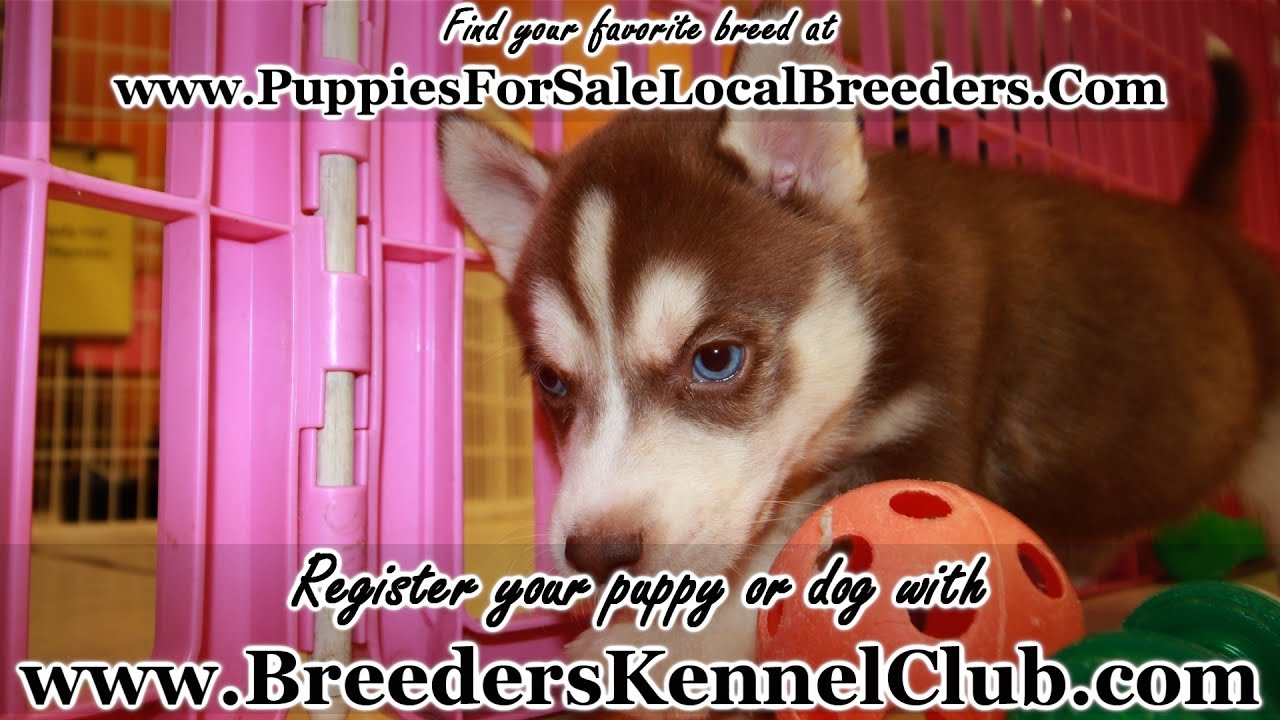 Husky puppies for sale yucca valley - Red Siberian Husky Puppies For Sale In Ga Local Breeders