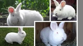 Мясные породы кроликов. Калифорния НЗЧ Фланд Серый Великан Белый Великан