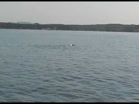 Delfinbeobachtung bei Umag (Adria)