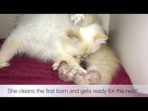 "Persian Cat signs she's in Labor ""What to Expect when your Cat is Expecting"""