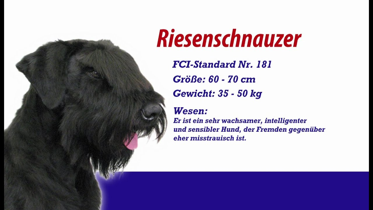 meister petz tv riesenschnauzer youtube. Black Bedroom Furniture Sets. Home Design Ideas