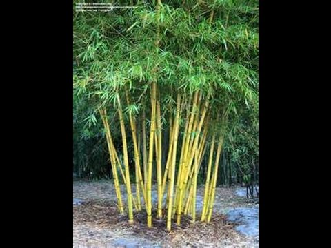 Non Invasive Sunburst Bamboo A Hardy Clumping Bamboo Youtube