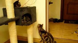 Курильский бобтейл: котята играют с удочкой
