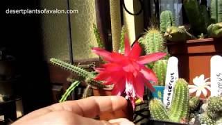My Aporocactus mallisonnii Cactus plant in red bloom