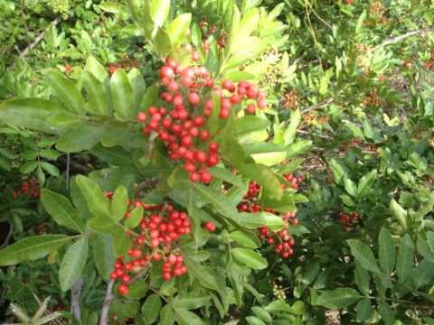 Brazilian Pepper Tree,(Schinus terebinthifolius)