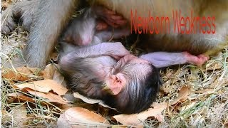 UUUHHHH!Newborn State Weakness Health After Born Really Worried About Baby/Sweet Baby Monkey