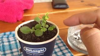 Растение которое шевелится