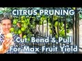 Citrus Pruning | Cut, Pull & Bend Branches For MAX Fruit Yields!
