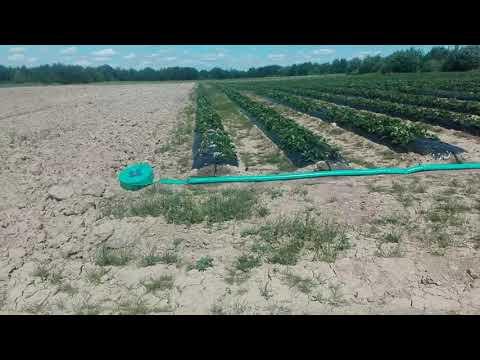 Выращивание клубники в ленобласти