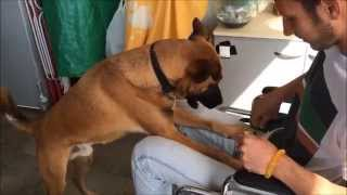 ג'ימי בתהליך הכשרה של כלב שירות לנכה
