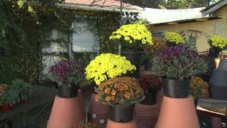 Fall Mums - Southern Gardening TV - October 16, 2013