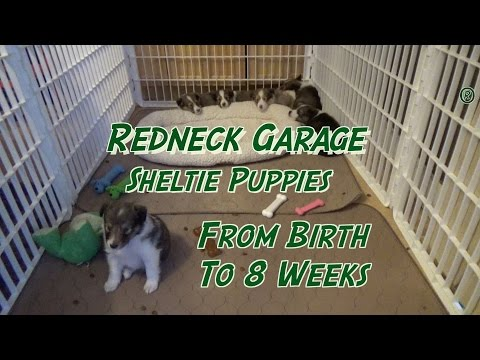 Sheltie Puppies From Birth to 8 Weeks - The Journey ( Shetland Sheepdog)