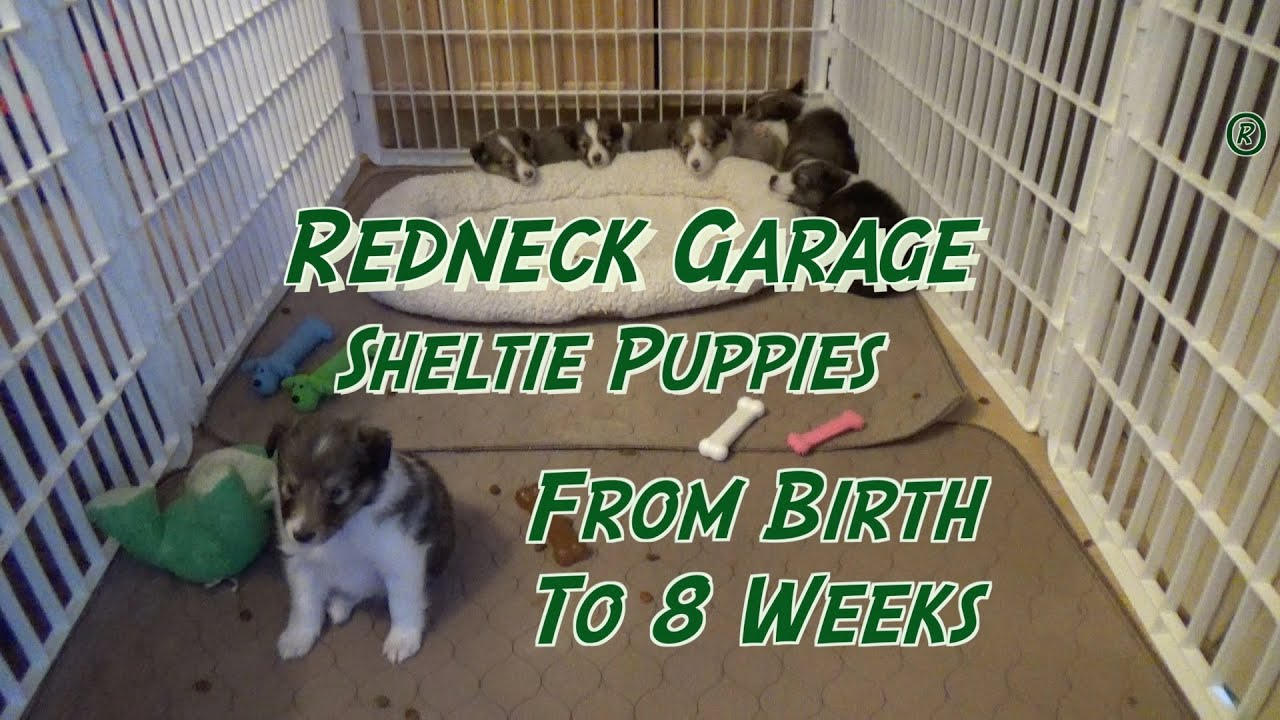 Sheltie Puppies From Birth To 8 Weeks The Journey Shetland