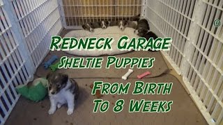 Sheltie Puppies From Birth to 8 Weeks  The Journey ( Shetland Sheepdog)