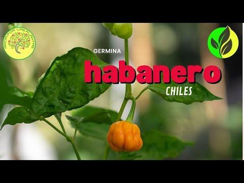 Germinacion de chile habanero capsicum chinense youtube for Plantas de exterior chile