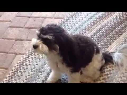 Foxglove Farm Cavachon Video Callie The Wonder Dog!