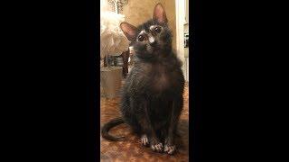 Кот ликой  хозяйничает на кухне
