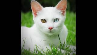 Экзотические кошки 1