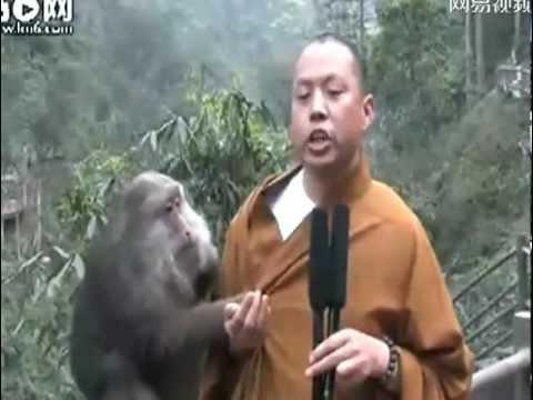Monk Bullied by Mount Monkeys, Mt Emei