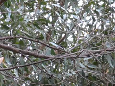 Rufous Whistler calling in Perth park (3)