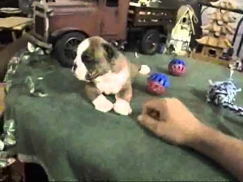 AKC Red Brindle And White English Bulldog Felix