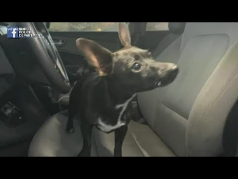Pet Central - Chihuahua drives owner's SUV across a busy highway