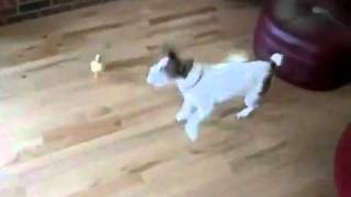 Little Duck Chases Dog
