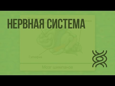 Видеоурок по биологии 7 класс нервная система