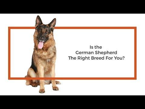 German Shepherd Puppies - Visit Petland in Dallas, Texas