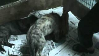 http://www.jpla-nishinomiya.com/puppy... 子犬情報 物おじせずとても...