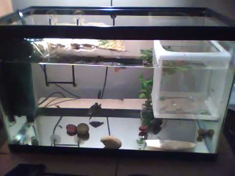 My uploaded baby red eared slider tank YouTube